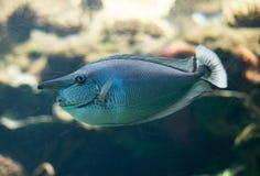 在水族馆的被察觉的unicornfish游泳 免版税图库摄影