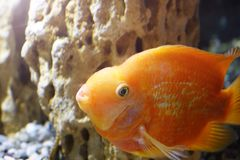 在水族馆的金鱼 库存照片