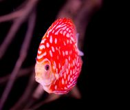 在水族馆的铁饼鱼,在水族馆的热带鱼 从亚马孙河的Symphysodon铁饼 蓝色金刚石,snakeskin, 免版税库存照片