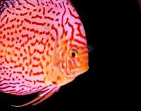 在水族馆的铁饼鱼,在水族馆的热带鱼 从亚马孙河的Symphysodon铁饼 蓝色金刚石,snakeskin, 库存图片