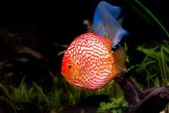 在水族馆的铁饼鱼,在水族馆的热带鱼 从亚马孙河的Symphysodon铁饼 蓝色金刚石,snakeskin, 免版税图库摄影