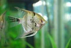 在水族馆的银鱼 与银色和黑和金子颜色在被种植的热带水族馆,浅DOF的银色神仙鱼 S 库存照片