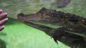 在水族馆的鳄鱼漂浮对玻璃 股票视频