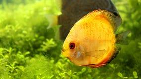 在水族馆的黄色颜色铁饼鱼 免版税图库摄影