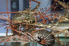 在水族馆的龙虾 免版税库存照片
