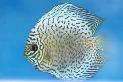 在水族馆的Arowana,这是与长的身体,五颜六色美好的龙的形状的一条喜爱的鱼 库存图片