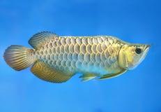 在水族馆的Arowana,这是与长的身体,五颜六色美好的龙的形状的一条喜爱的鱼 库存照片