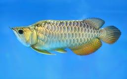 在水族馆的Arowana,这是与长的身体,五颜六色美好的龙的形状的一条喜爱的鱼 免版税库存照片