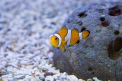 在水族馆的Clownfish 免版税库存照片