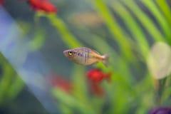在水族馆的Donaciinae霓虹鱼 Melanotaenia precox fi 免版税库存照片