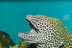 在水族馆的Tessalata鳗鱼 库存图片