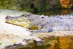 在水族馆迪拜的鳄鱼 免版税图库摄影