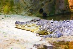 在水族馆迪拜的鳄鱼 免版税库存照片