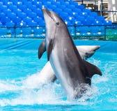 在水池的两只海豚 免版税库存图片