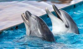在水池的两只海豚 库存照片