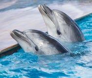 在水池的两只海豚 库存图片