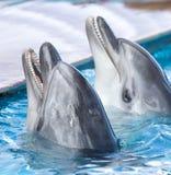 在水池的两只海豚 免版税库存照片