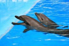 在水池的两只海豚 免版税图库摄影