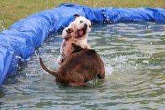 在水池的两只英国牛头犬 免版税图库摄影