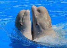 在水池的两条白色白海豚鲸鱼 图库摄影