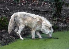在水池的北极狼 免版税库存照片