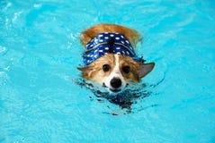 在水池的年轻愉快的威尔士小狗狗游泳与蓝色救生衣在夏天 在夏天期间,小狗小狗愉快地游泳 免版税图库摄影