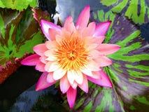 在水池的桃红色莲花浮游物 免版税库存图片