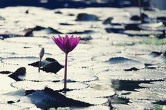 在水池的桃红色颜色莲花 免版税库存照片