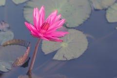 在水池的桃红色颜色莲花 图库摄影