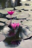 在水池的桃红色颜色莲花 免版税库存图片