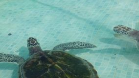在水池的海龟在墨西哥 股票录像