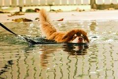 在水池的游泳狗铜颜色阿拉斯加的爱斯基摩狗 免版税库存图片
