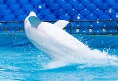 在水池的白色海豚 库存照片