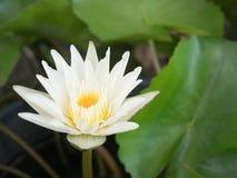 在水池的白莲教绽放 库存图片
