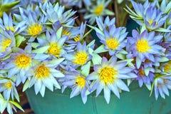 在水池的紫罗兰色荷花莲花 库存照片