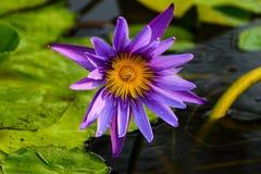 在水池的美丽的五颜六色的莲花和绿色叶子 免版税库存图片