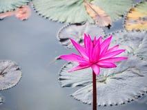 在水池的莲花 免版税库存图片