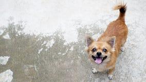 在水泥地板上的一条棕色奇瓦瓦狗狗 库存照片
