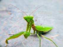 在水泥地板上的螳螂 免版税库存图片