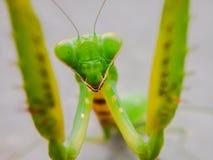 在水泥地板上的螳螂 库存图片