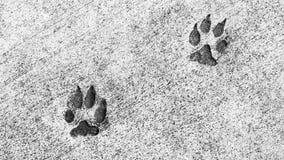 在水泥埋置的两个动物爪子印刷品 库存图片
