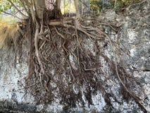 在水泥墙壁上的被暴露的树根 免版税库存照片