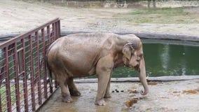 在水湖附近的巨大的大愉快的大象跳舞 股票录像