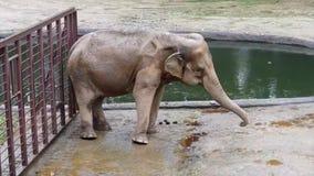 在水湖附近的巨大的大愉快的大象跳舞 股票视频