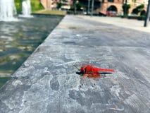 在水源旁边的一只蜻蜓 免版税库存图片
