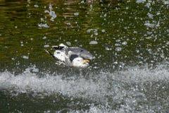 在水滴喷泉的海鸥自夸的和清洗的羽毛全身羽毛  库存图片