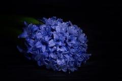 在水滴的南北美洲香草花在黑暗的背景关闭的 免版税库存图片