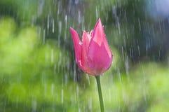 在水滴的桃红色和紫色郁金香在春雨中 库存照片