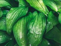 在水滴的湿绿色叶子  免版税库存照片
