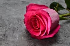 在水特写镜头下落的一朵桃红色玫瑰凝结面上的 荷兰语上升了 浪漫礼物在第一个日期 免版税库存照片